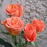 Orange Star Roses Branchues d'Equateur Ethiflora